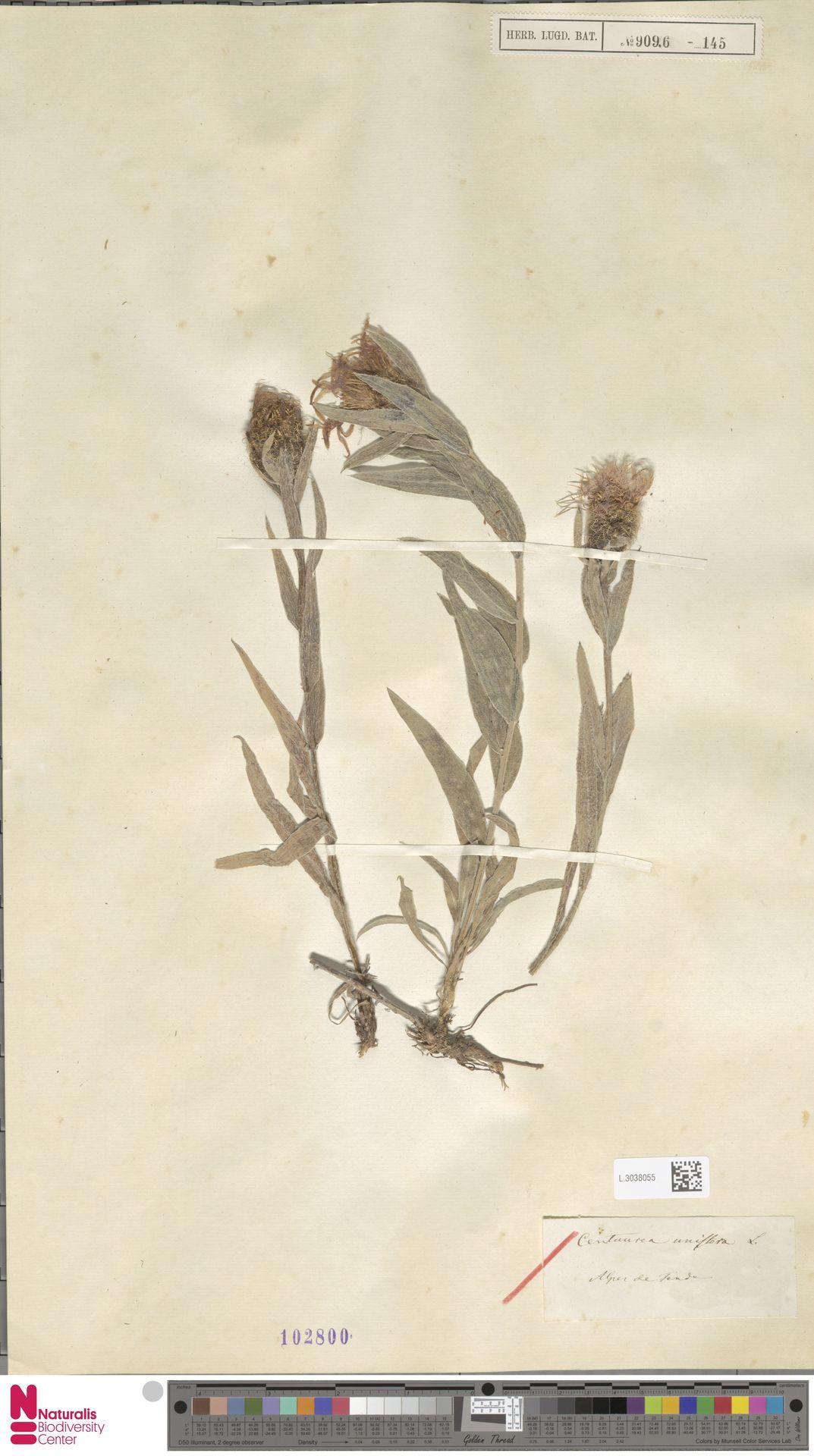 L.3038055 | Centaurea uniflora Turra