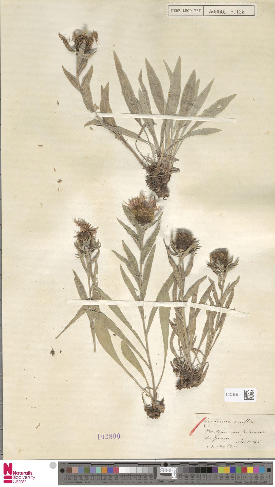 L.3038056 | Centaurea uniflora L.