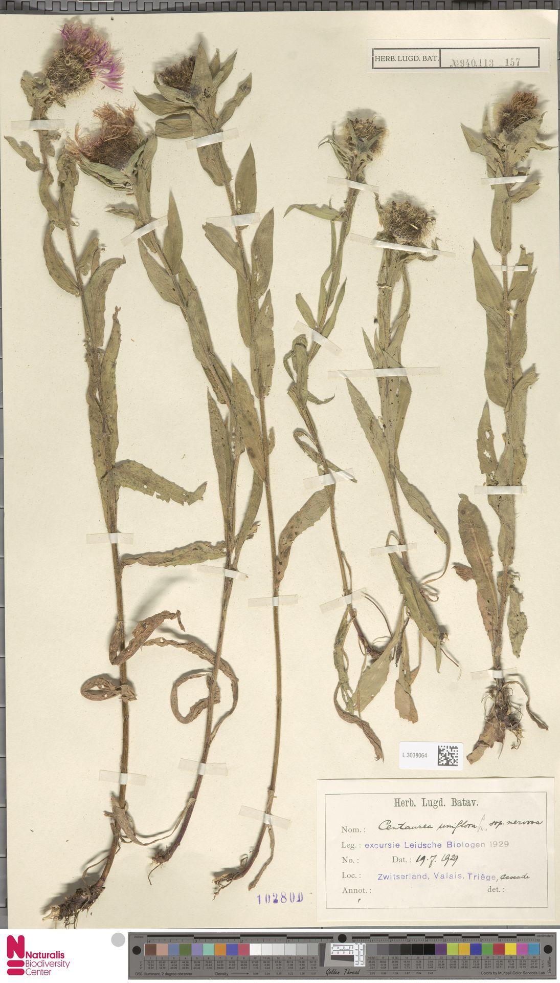 L.3038064 | Centaurea uniflora subsp. nervosa (Willd.) Bonnier & Layens