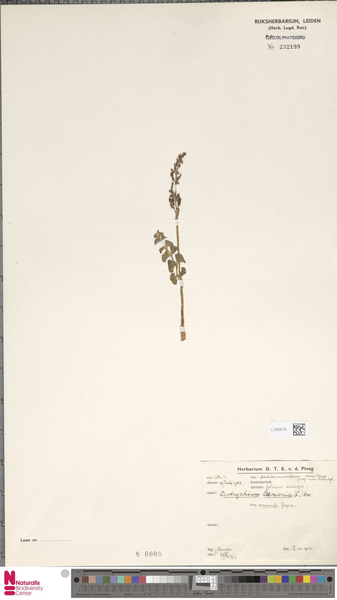 L.3038779 | Botrychium lunaria (L.) Sw.