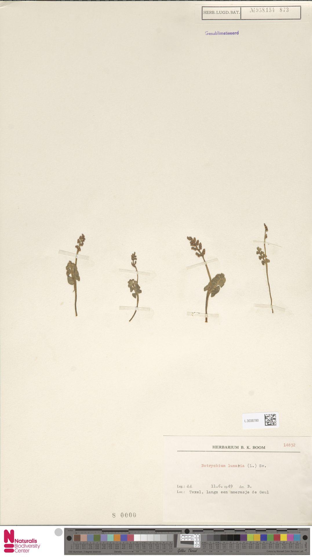 L.3038780 | Botrychium lunaria (L.) Sw.
