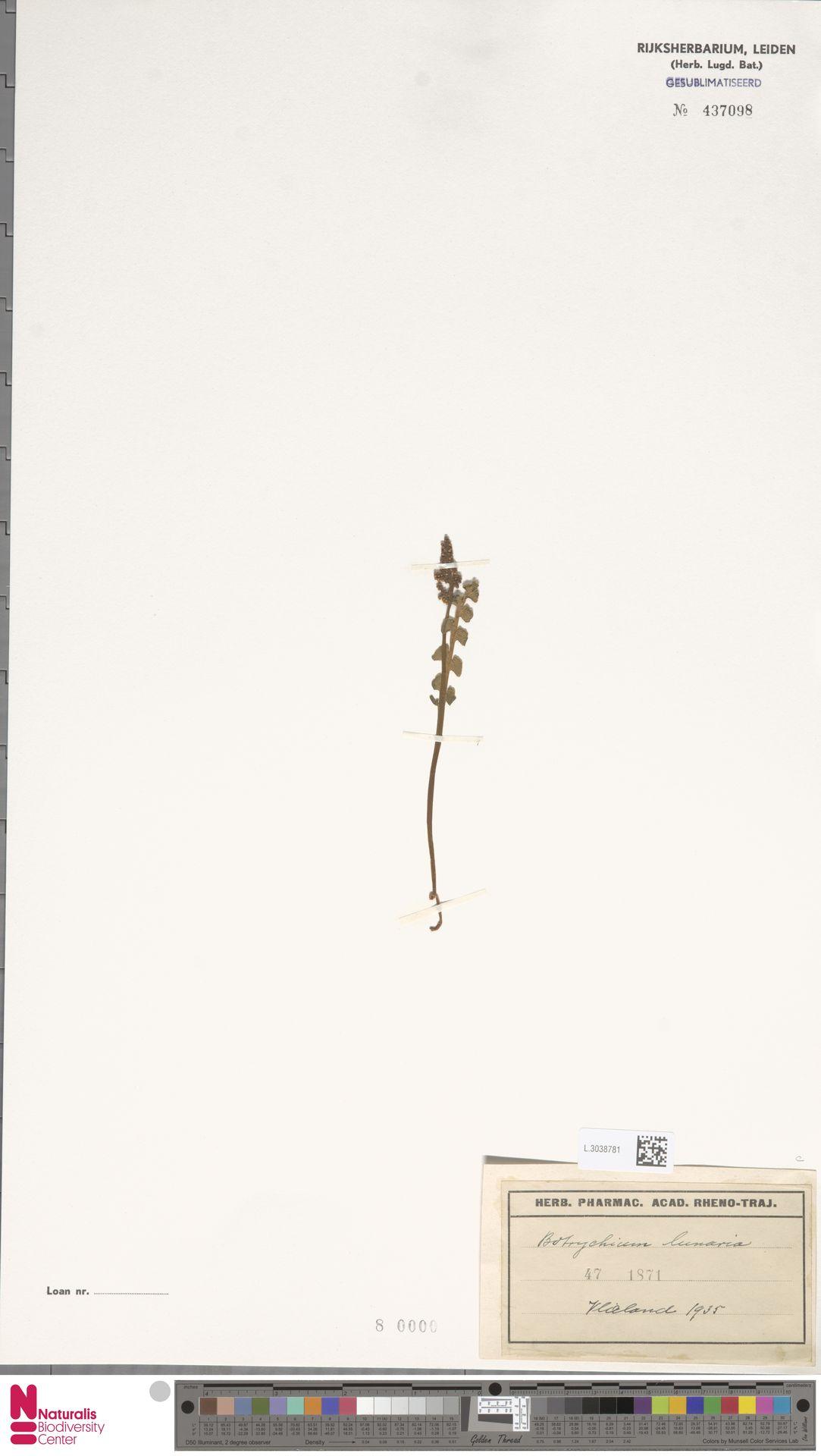 L.3038781 | Botrychium lunaria (L.) Sw.