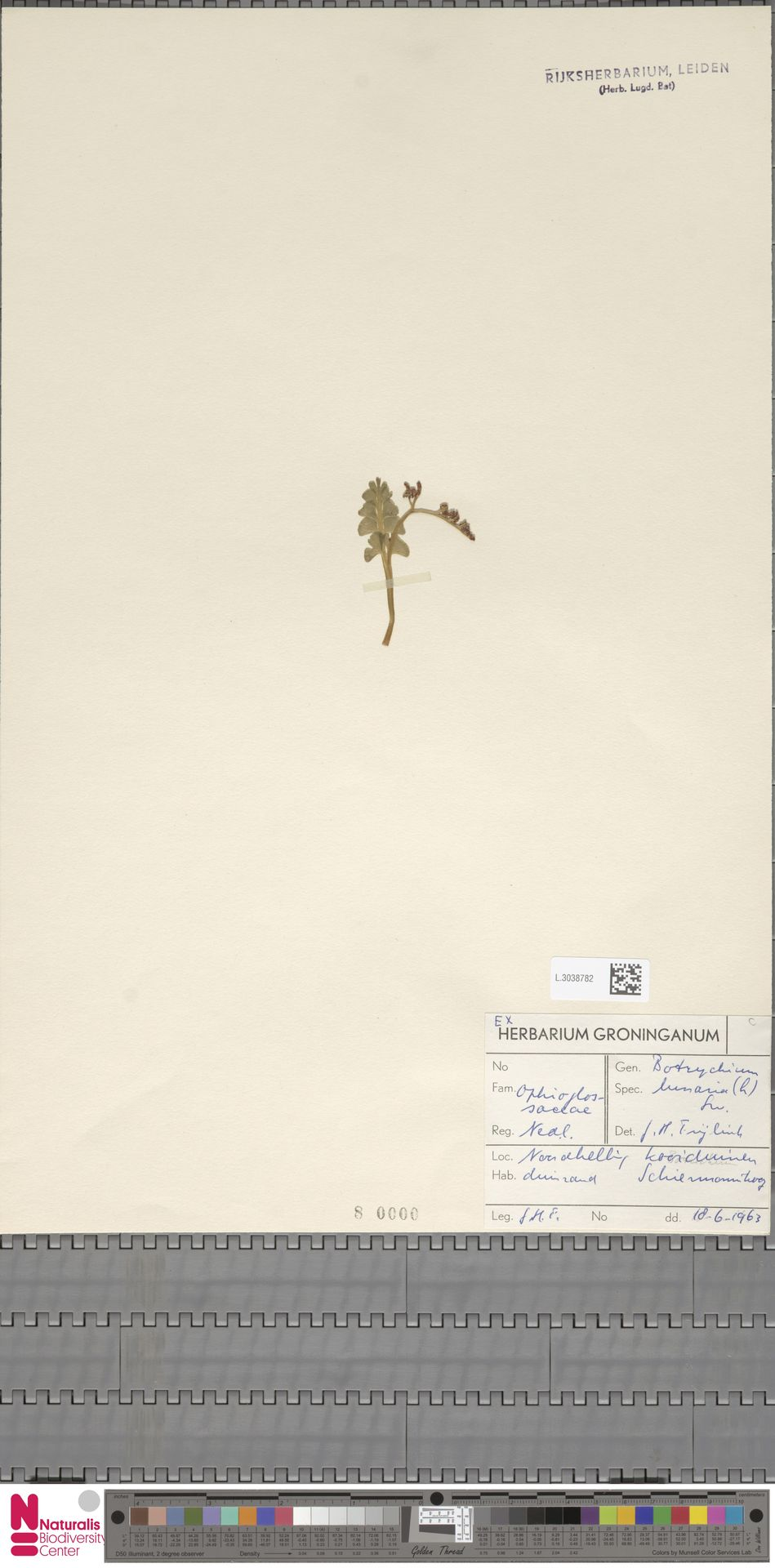 L.3038782 | Botrychium lunaria (L.) Sw.