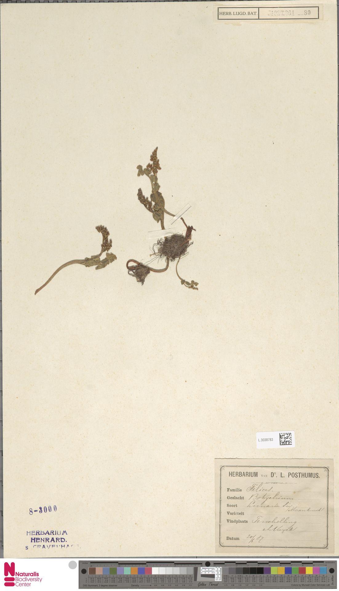 L.3038783 | Botrychium lunaria (L.) Sw.