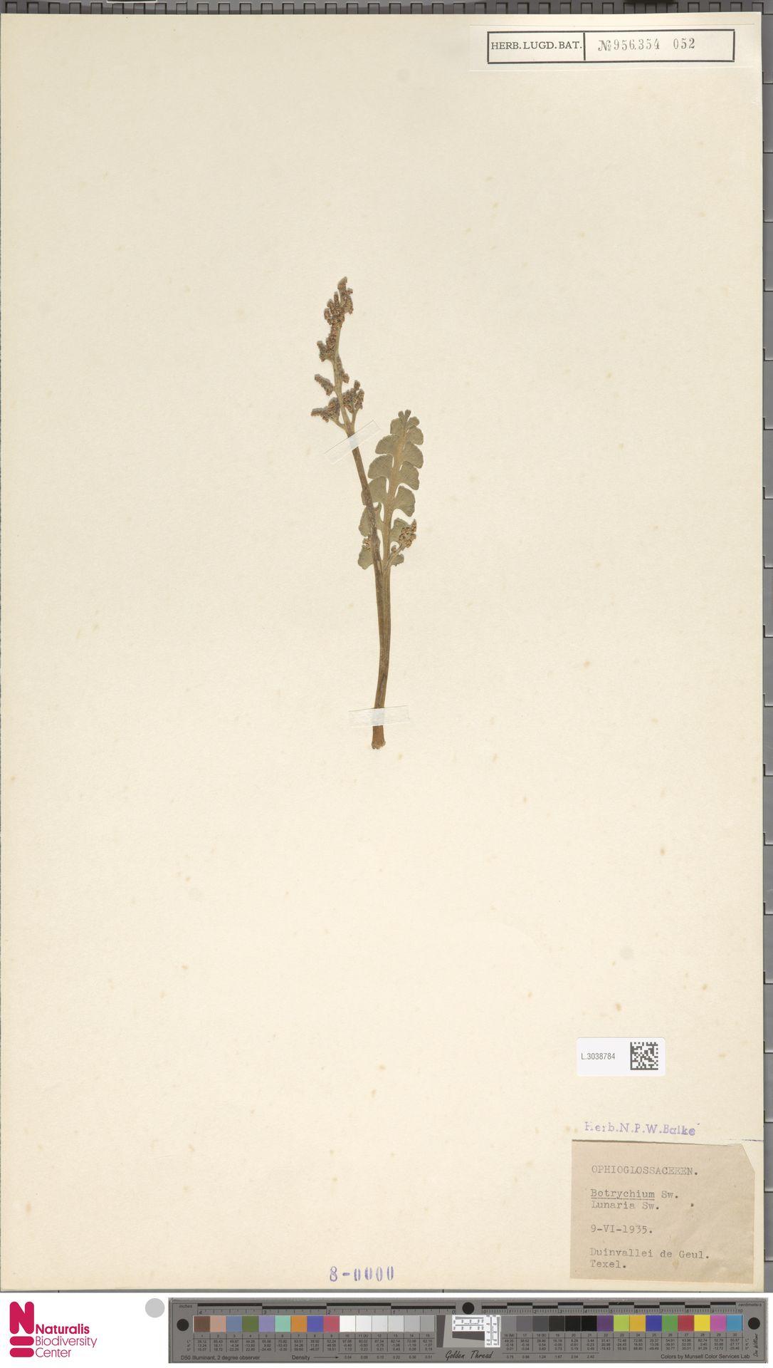 L.3038784 | Botrychium lunaria (L.) Sw.