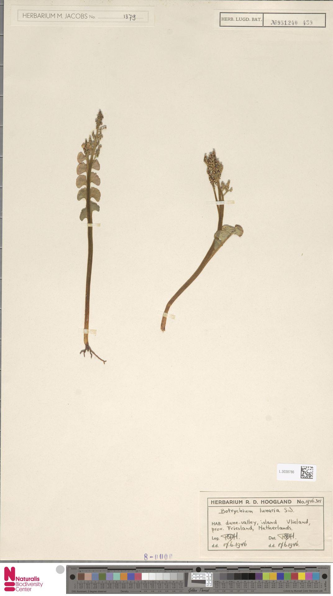 L.3038786 | Botrychium lunaria (L.) Sw.