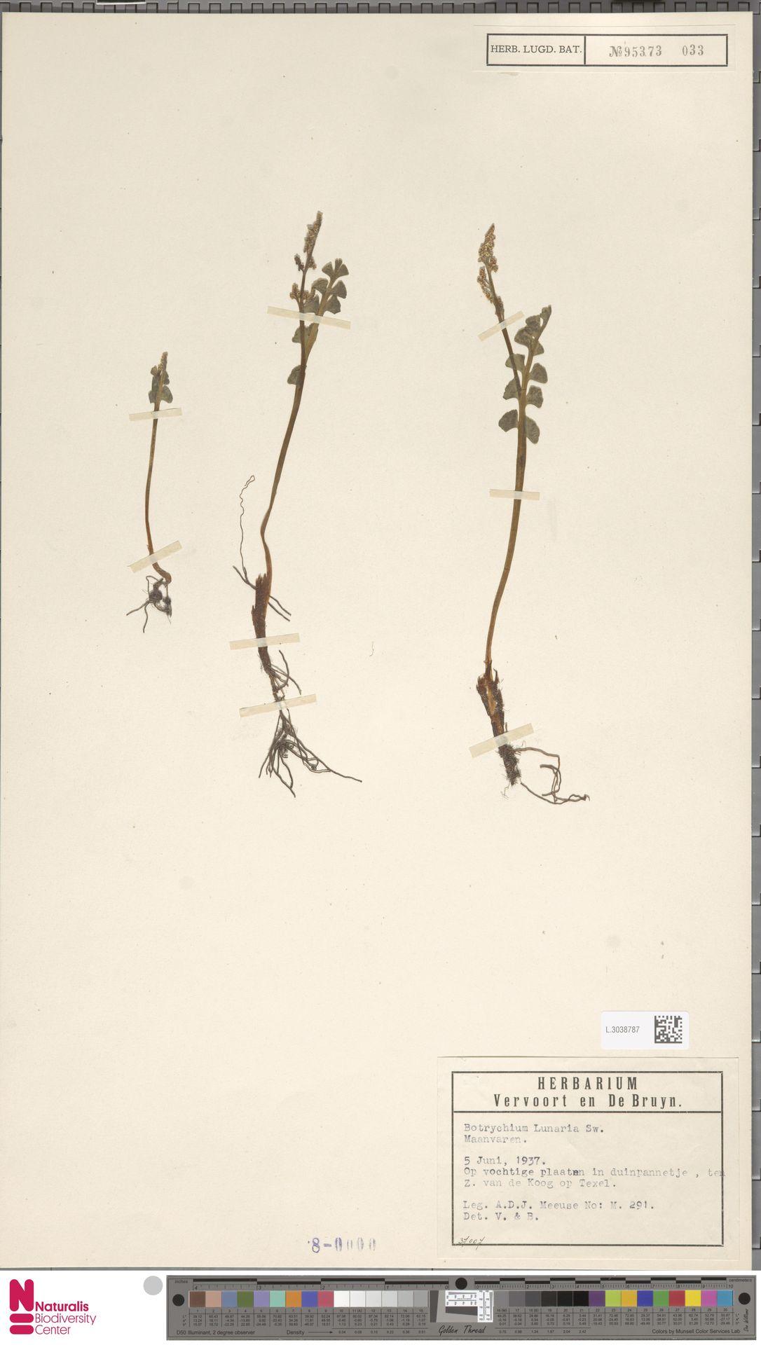 L.3038787 | Botrychium lunaria (L.) Sw.