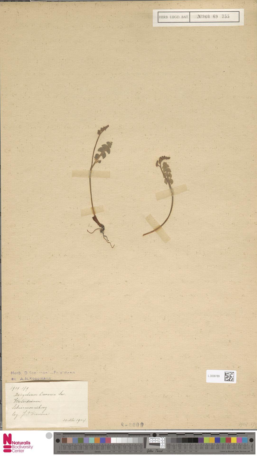 L.3038789 | Botrychium lunaria (L.) Sw.