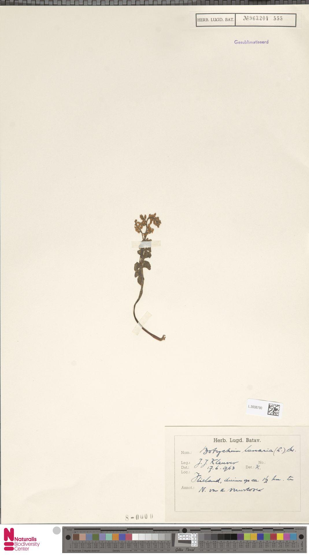 L.3038790 | Botrychium lunaria (L.) Sw.
