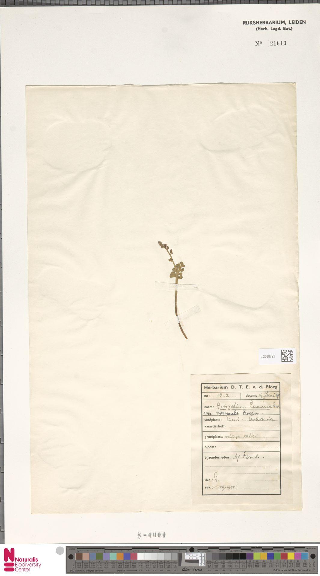 L.3038791 | Botrychium lunaria (L.) Sw.