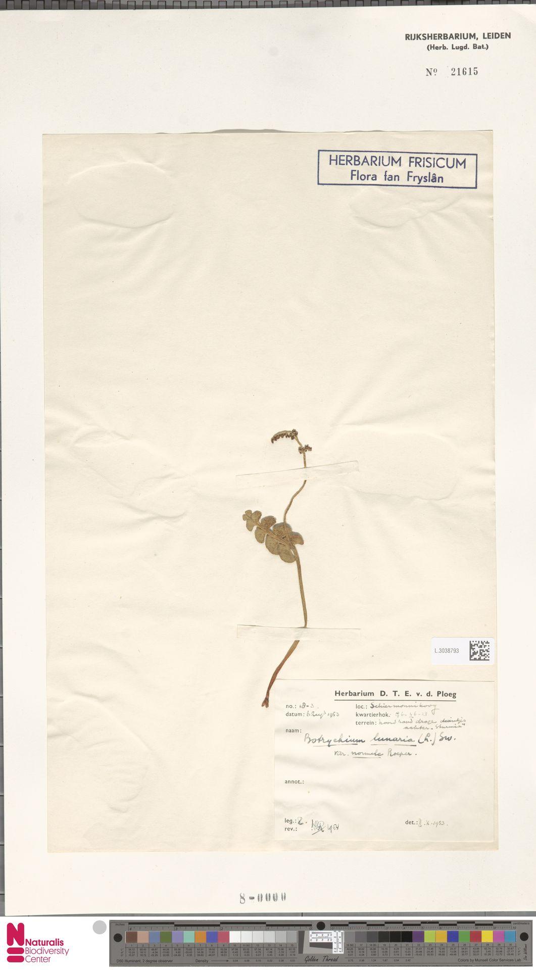 L.3038793 | Botrychium lunaria (L.) Sw.