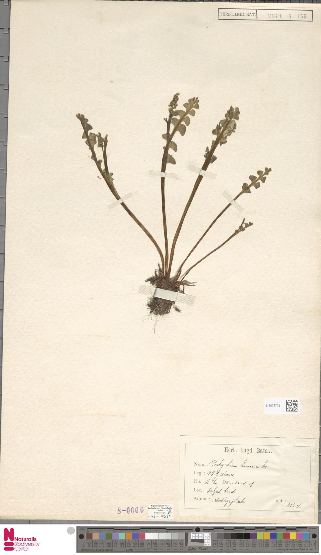 L.3038794 | Botrychium lunaria (L.) Sw.