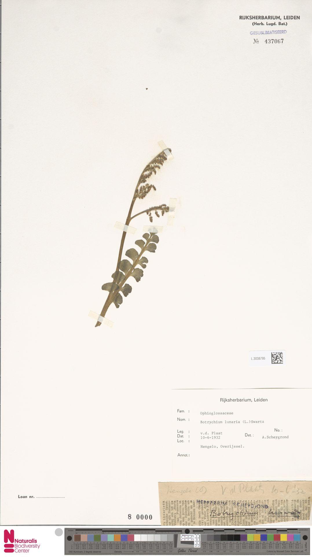 L.3038795 | Botrychium lunaria (L.) Sw.