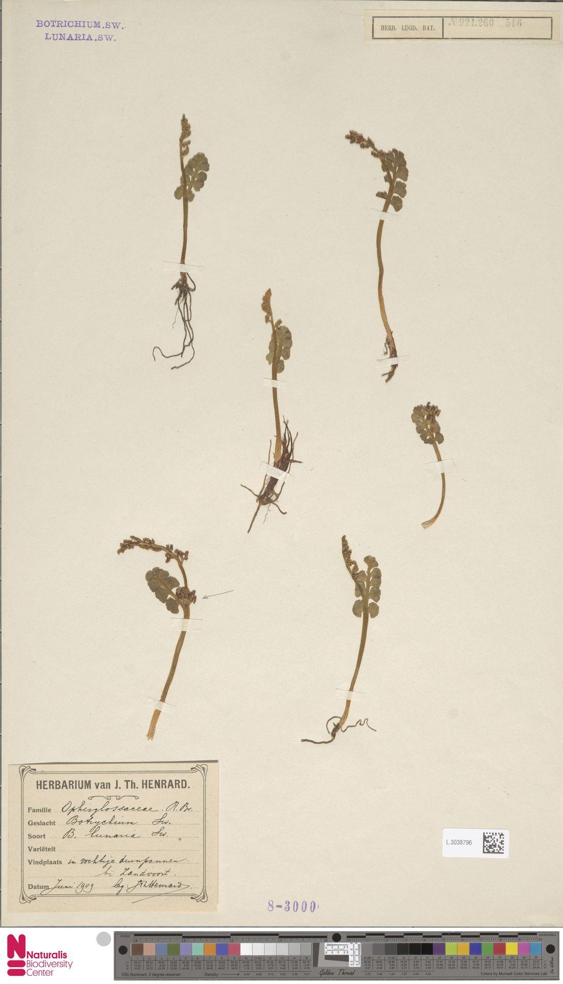 L.3038796 | Botrychium lunaria (L.) Sw.