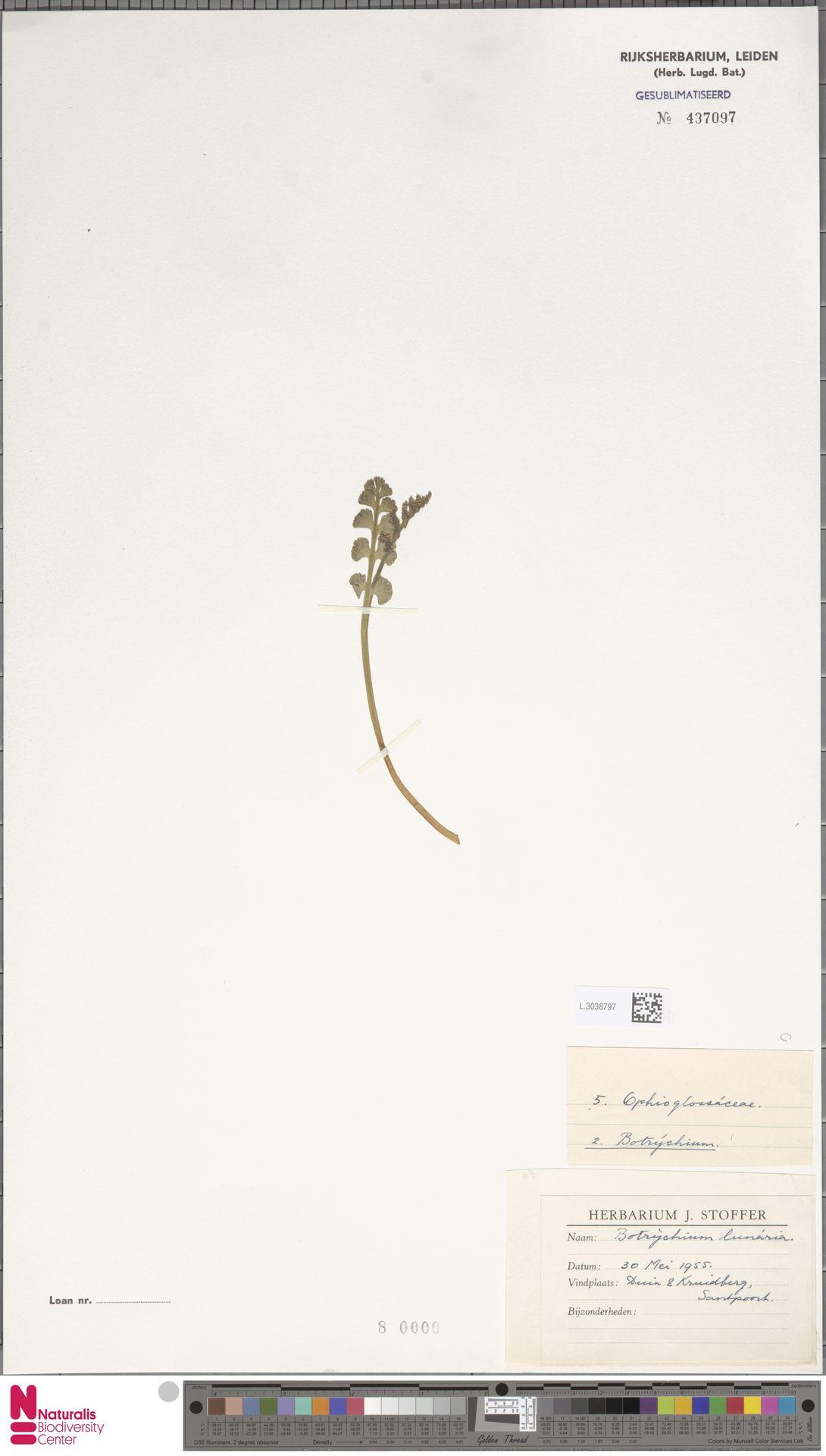 L.3038797 | Botrychium lunaria (L.) Sw.