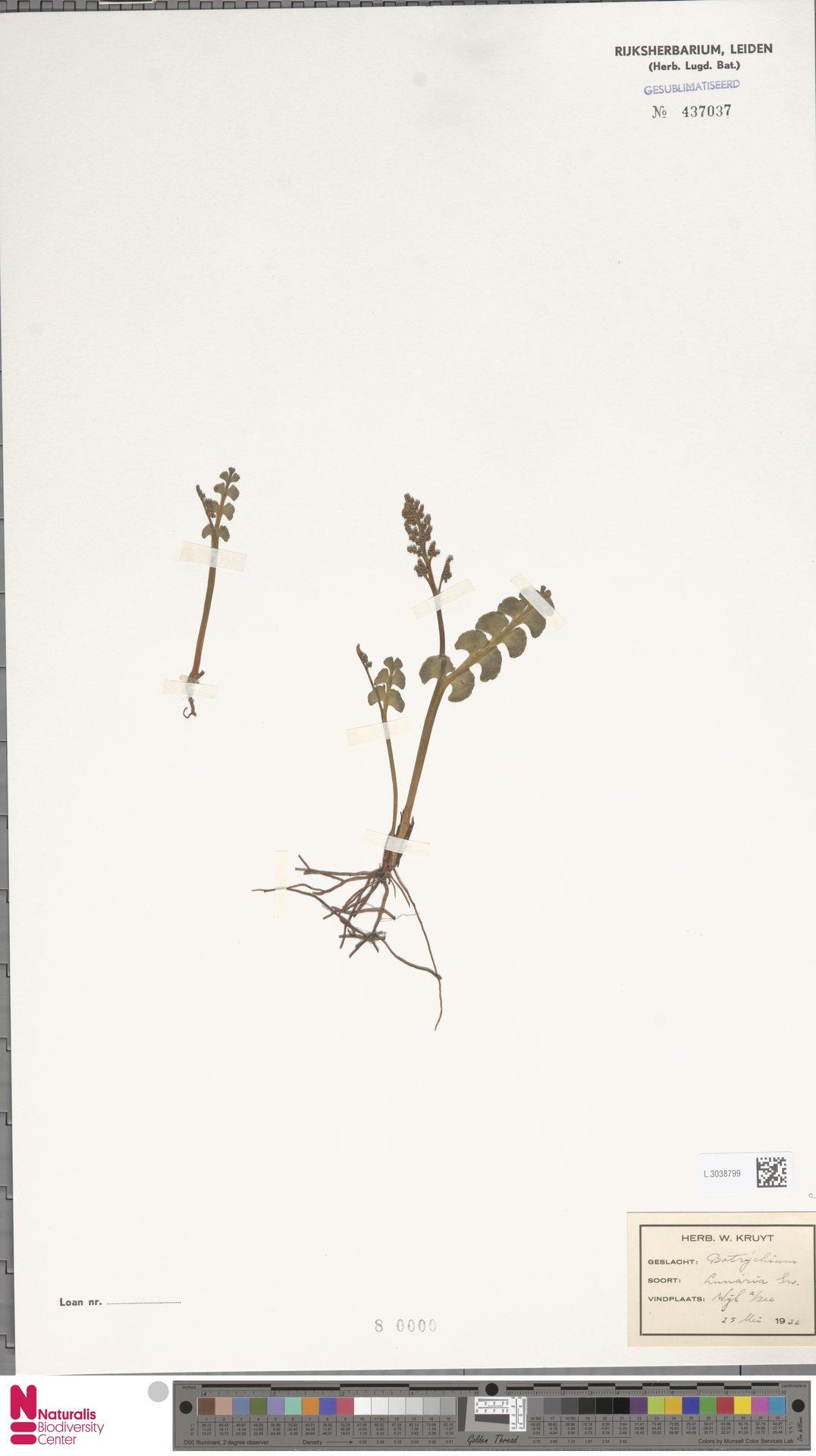 L.3038799   Botrychium lunaria (L.) Sw.
