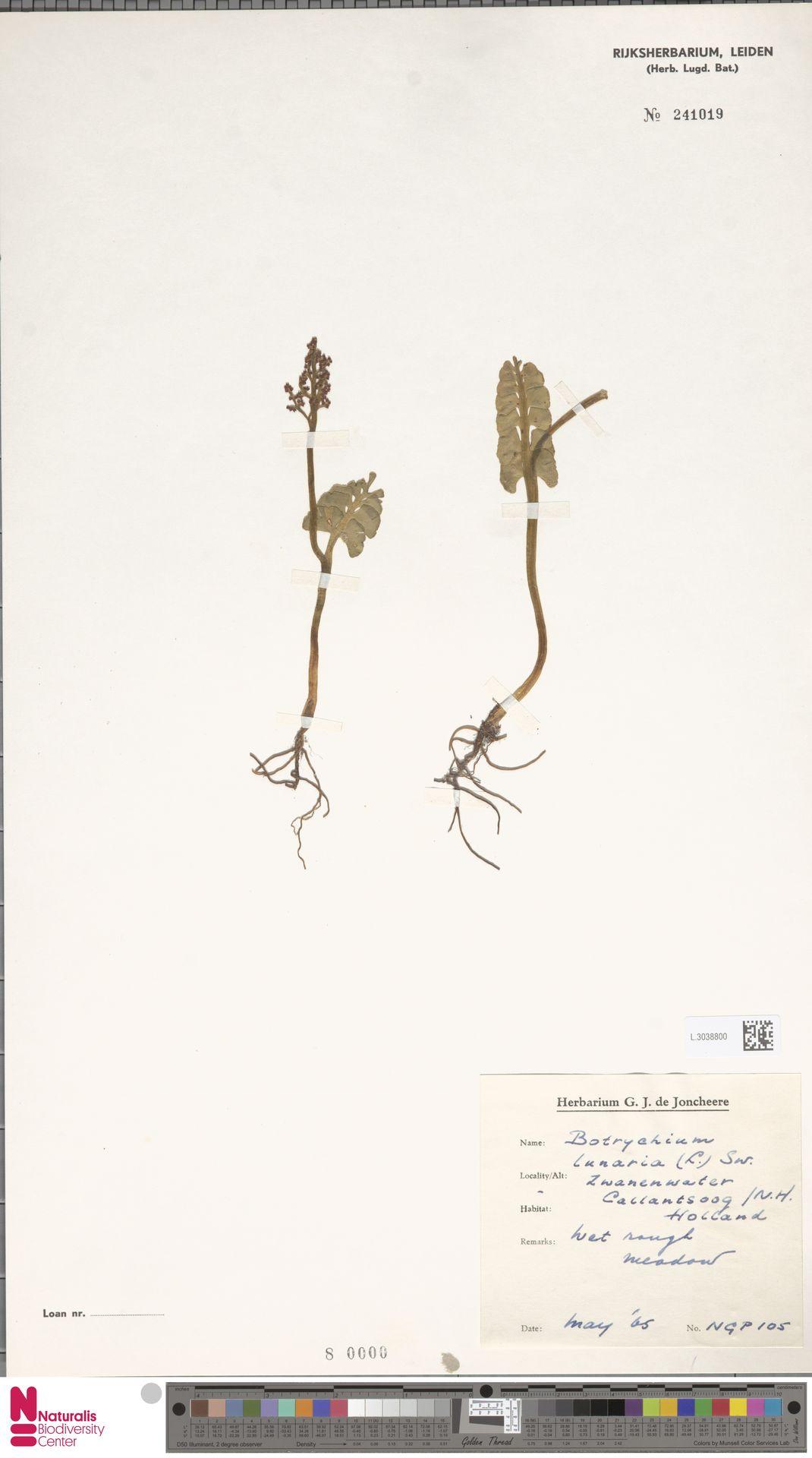 L.3038800 | Botrychium lunaria (L.) Sw.