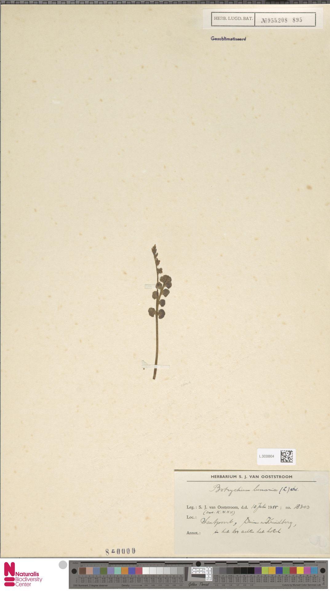 L.3038804 | Botrychium lunaria (L.) Sw.