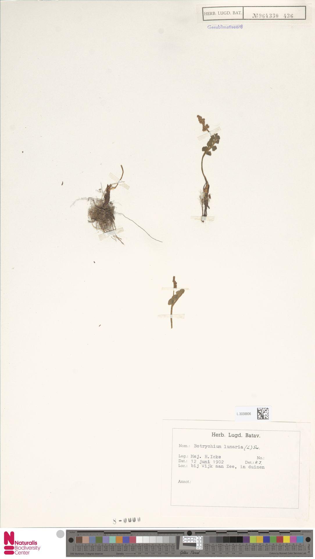 L.3038806   Botrychium lunaria (L.) Sw.