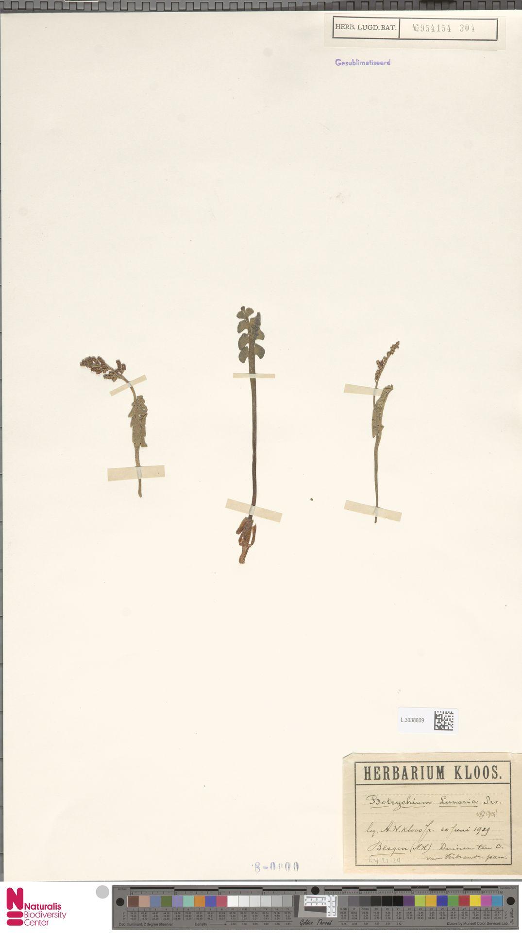 L.3038809 | Botrychium lunaria (L.) Sw.