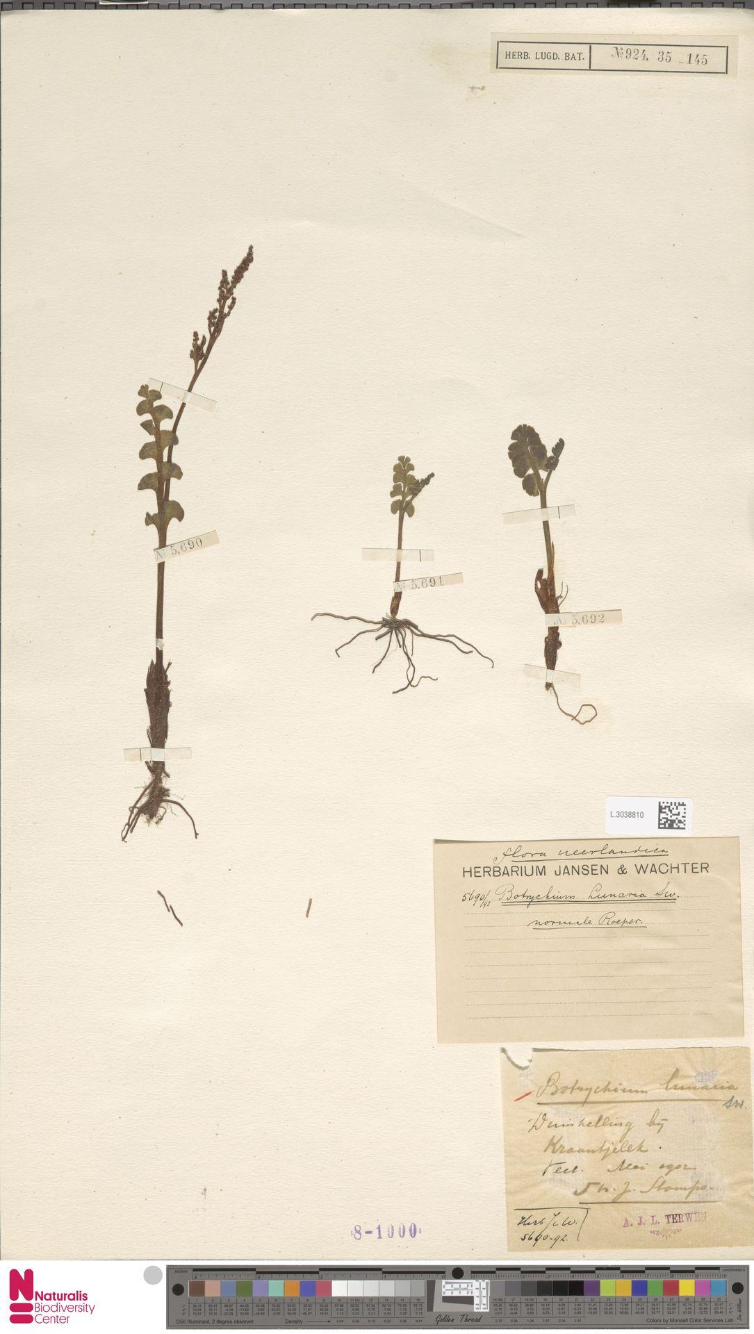 L.3038810 | Botrychium lunaria (L.) Sw.