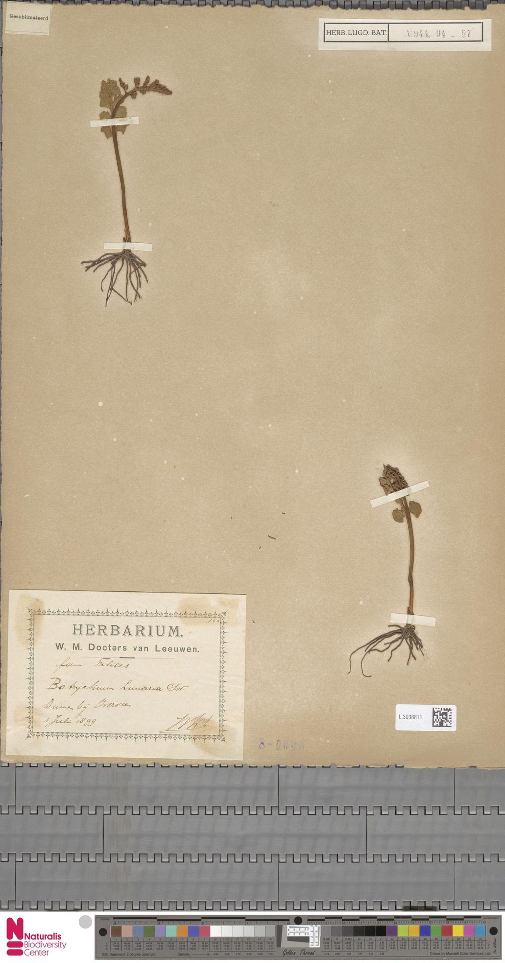 L.3038811 | Botrychium lunaria (L.) Sw.
