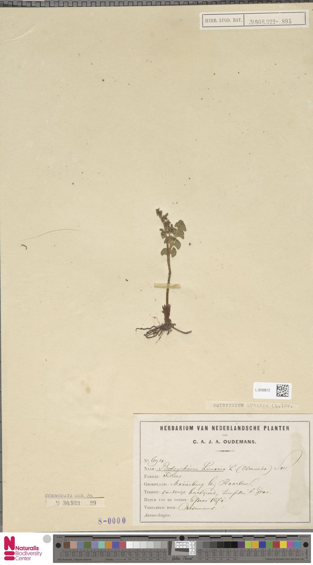 L.3038812 | Botrychium lunaria (L.) Sw.