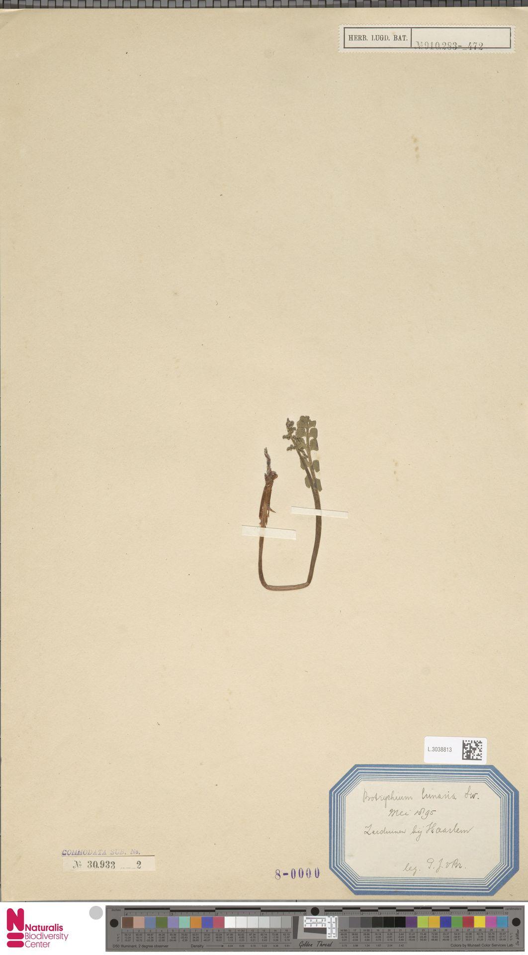 L.3038813 | Botrychium lunaria (L.) Sw.