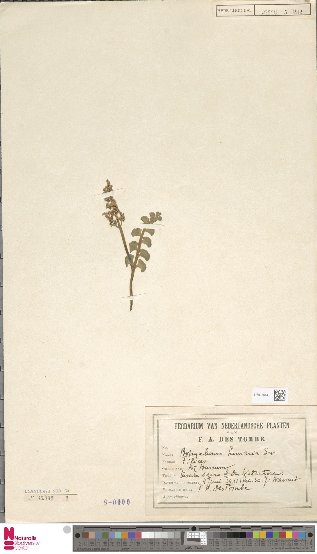 L.3038814 | Botrychium lunaria (L.) Sw.