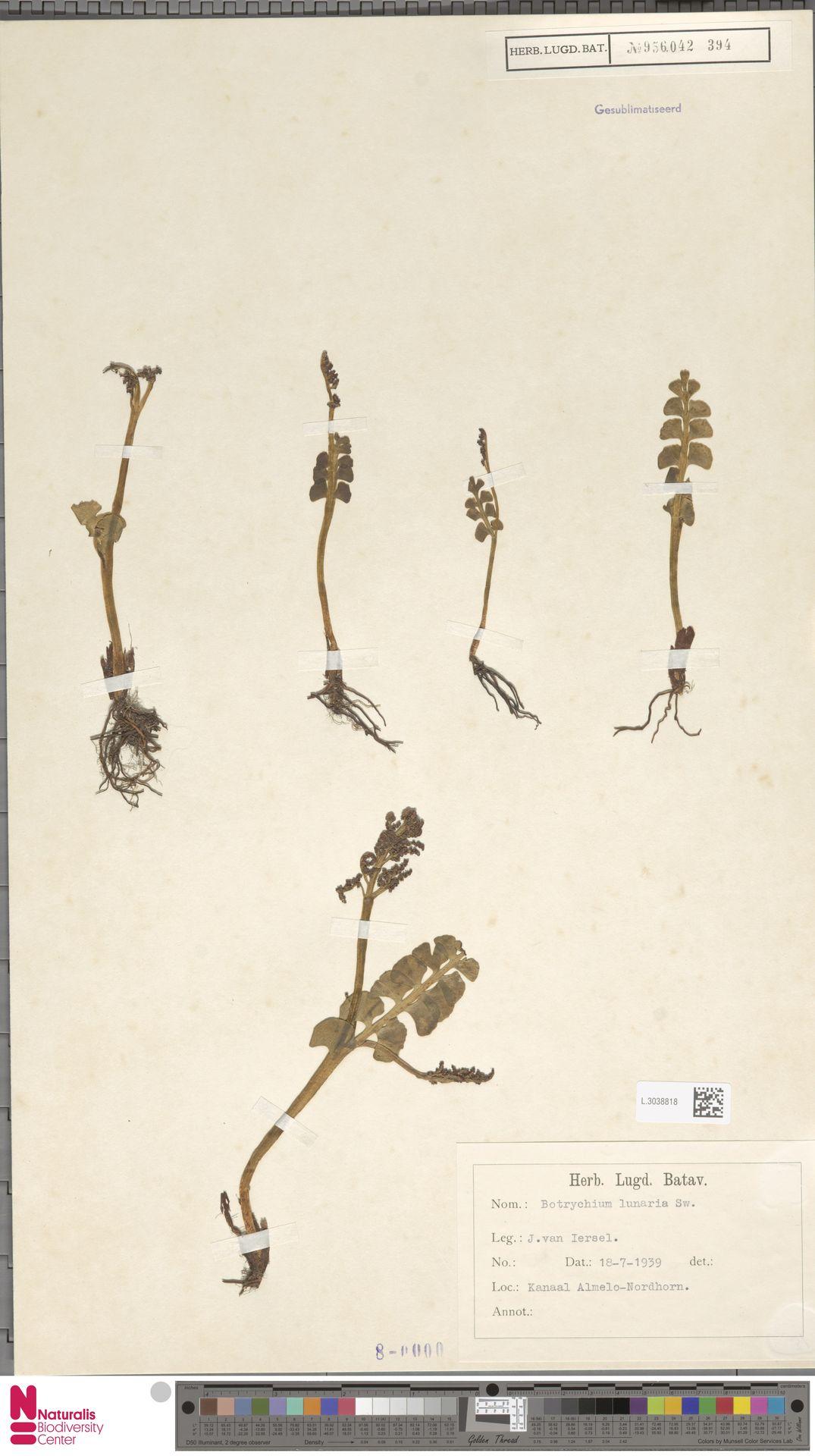 L.3038818 | Botrychium lunaria (L.) Sw.