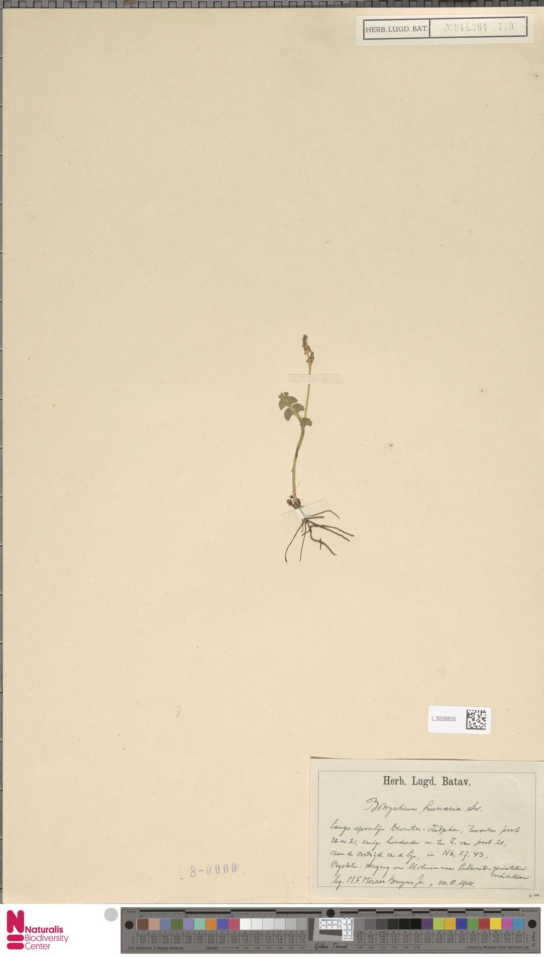 L.3038820 | Botrychium lunaria (L.) Sw.