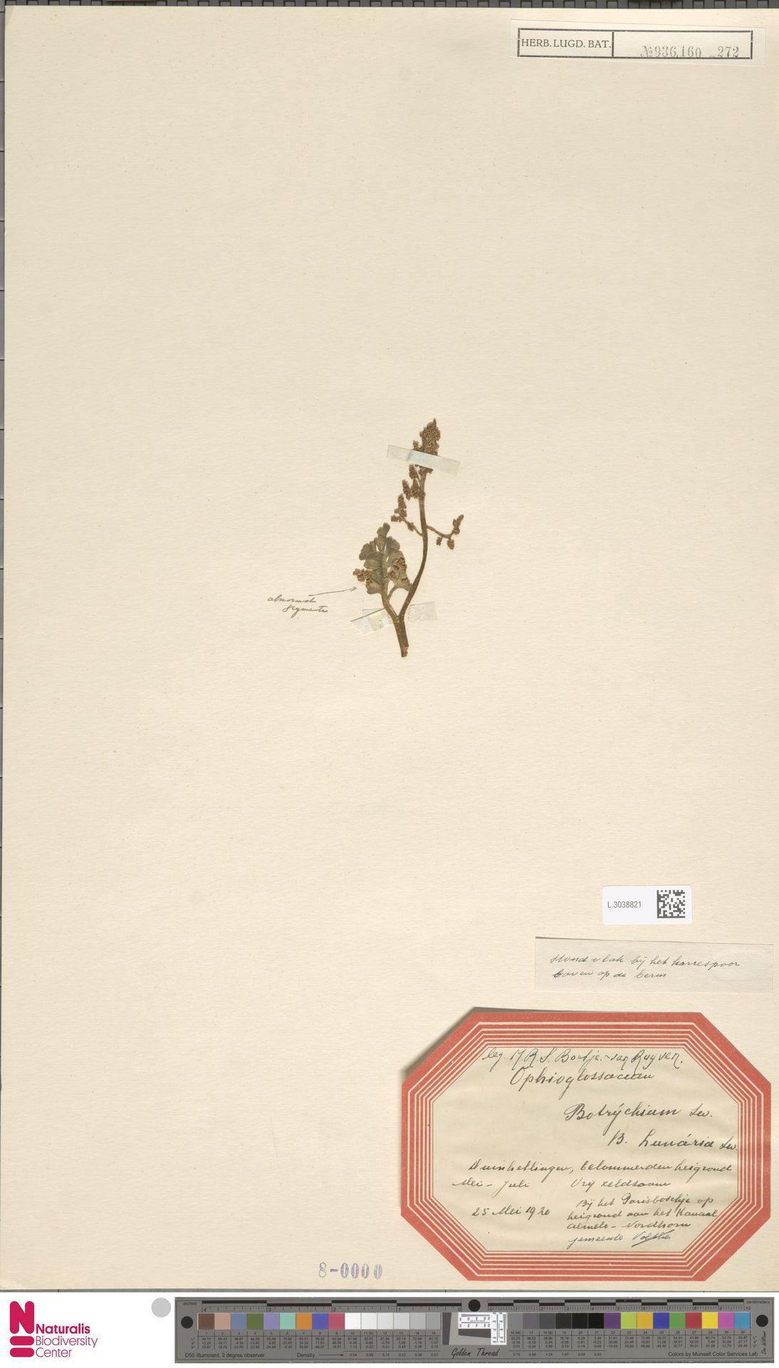 L.3038821 | Botrychium lunaria (L.) Sw.