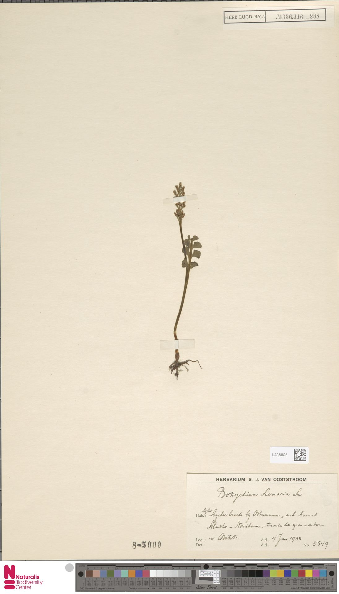 L.3038823 | Botrychium lunaria (L.) Sw.