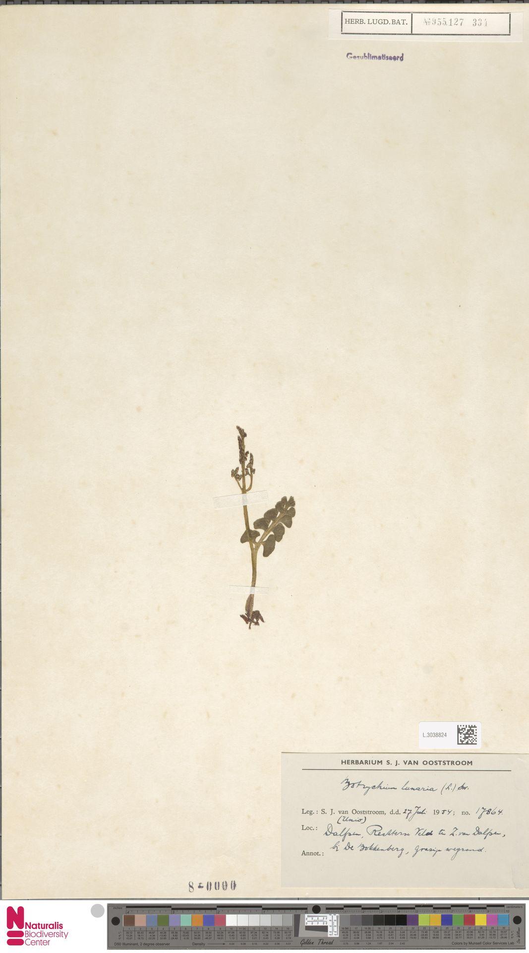 L.3038824   Botrychium lunaria (L.) Sw.