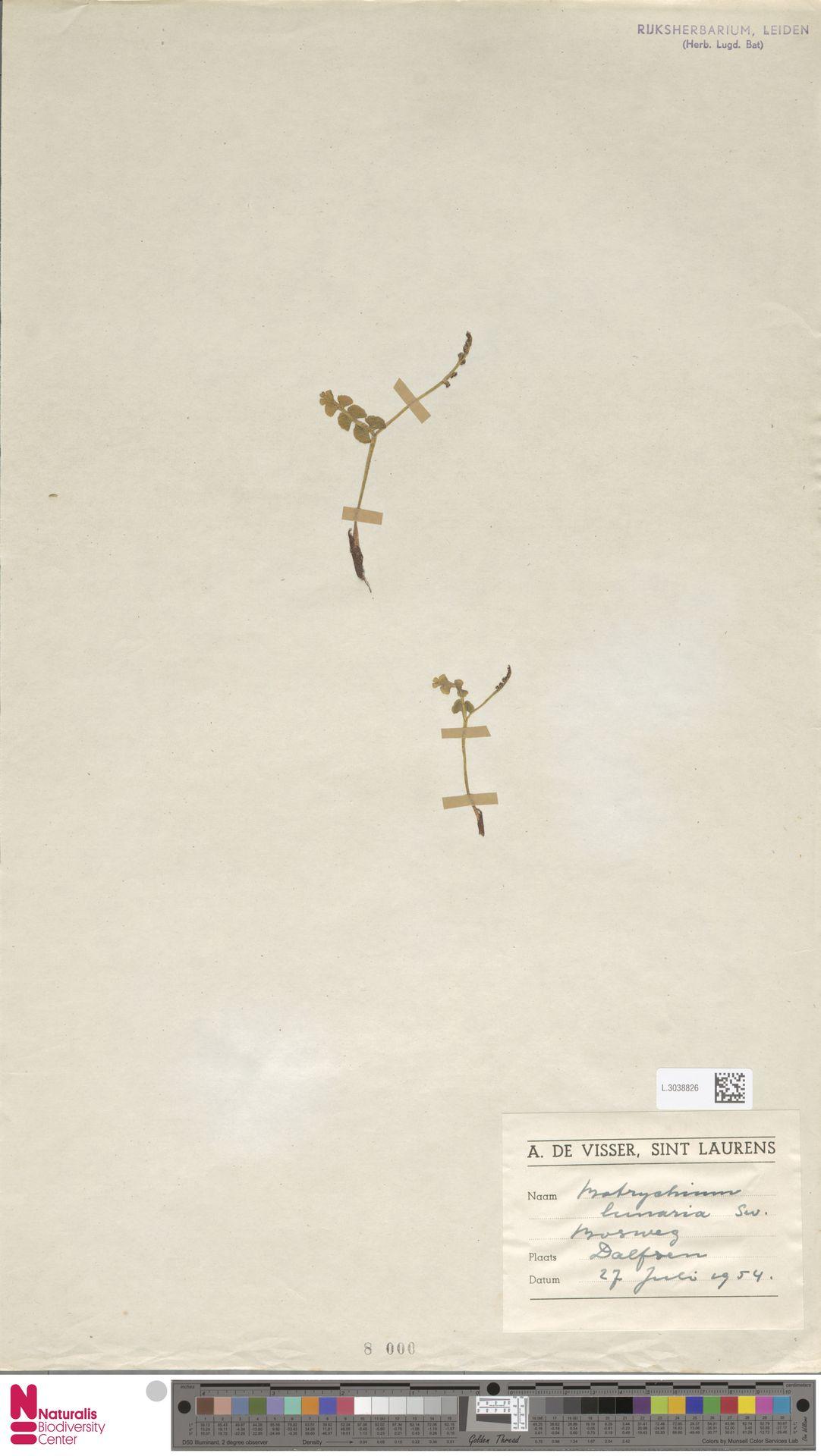 L.3038826 | Botrychium lunaria (L.) Sw.