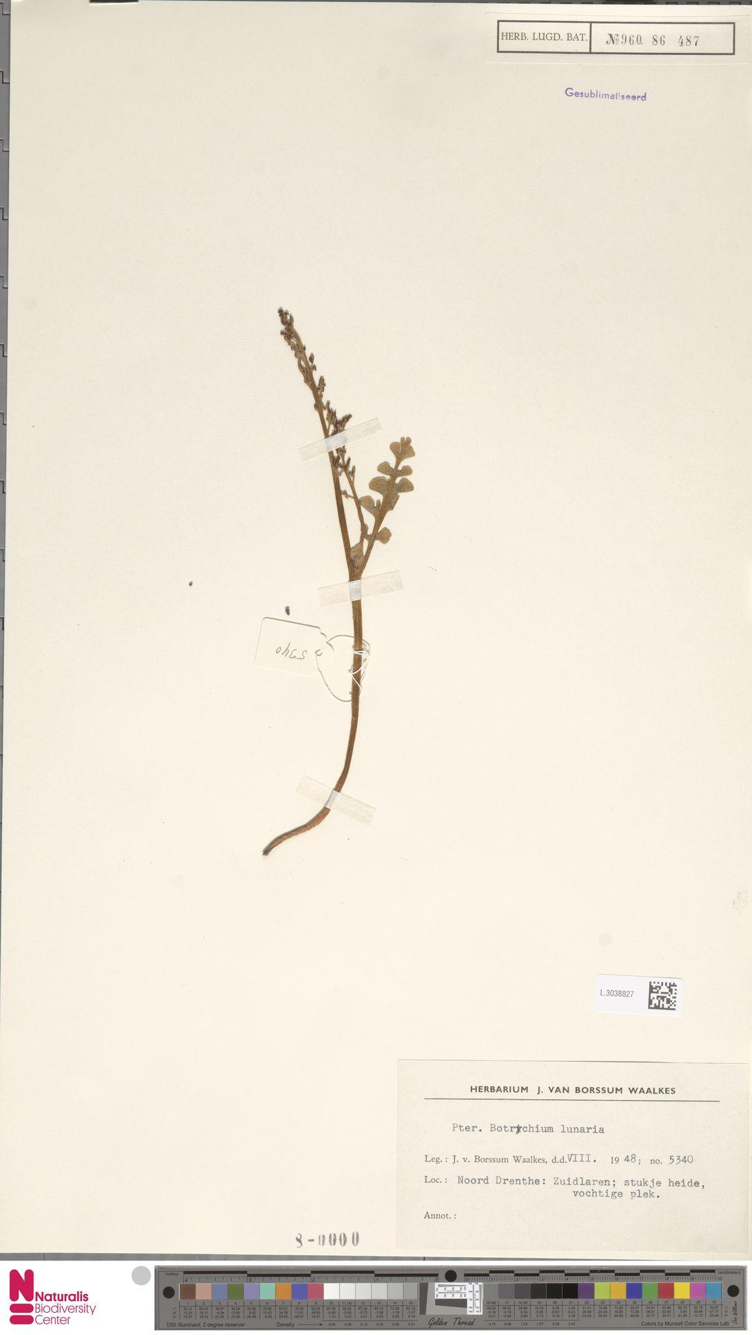 L.3038827 | Botrychium lunaria (L.) Sw.