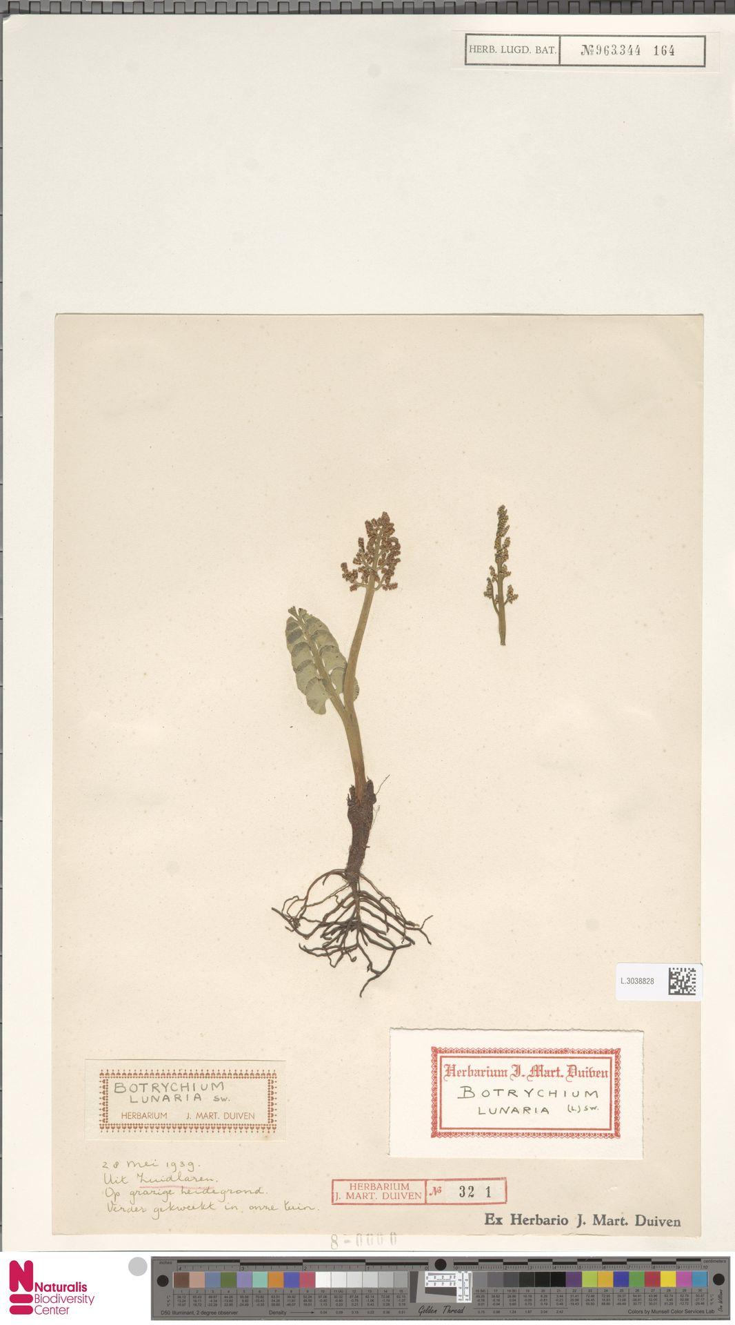 L.3038828 | Botrychium lunaria (L.) Sw.