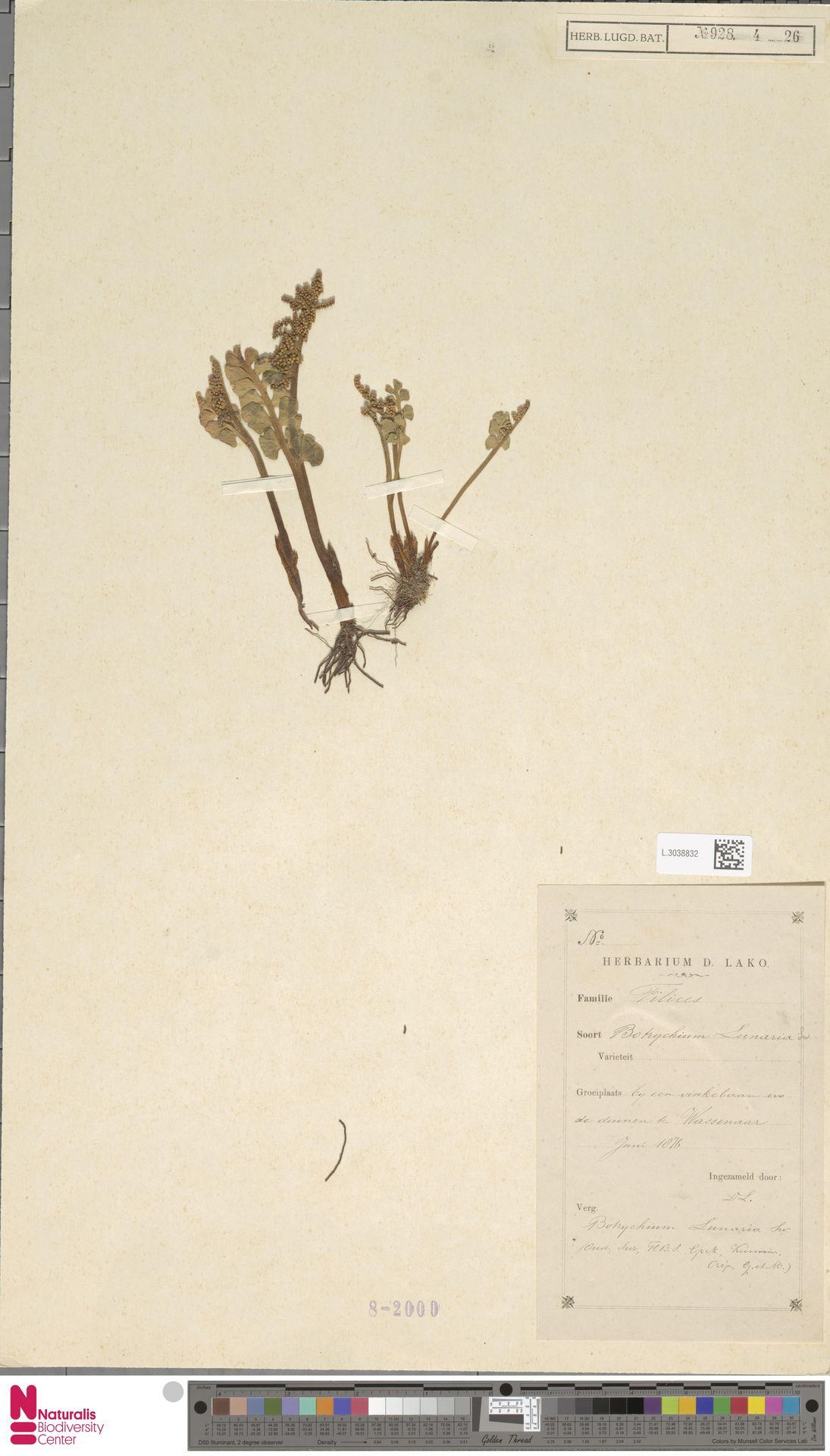 L.3038832 | Botrychium lunaria (L.) Sw.