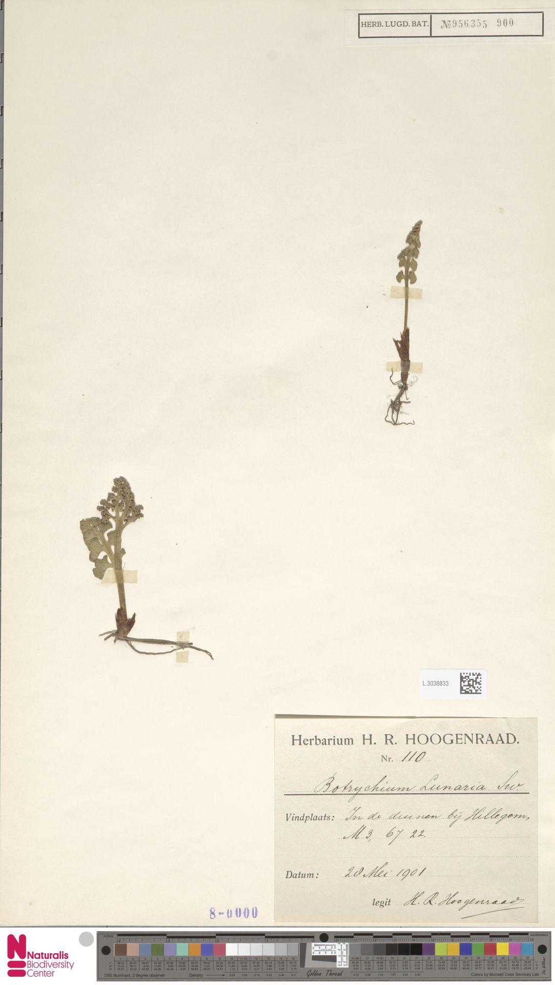 L.3038833 | Botrychium lunaria (L.) Sw.