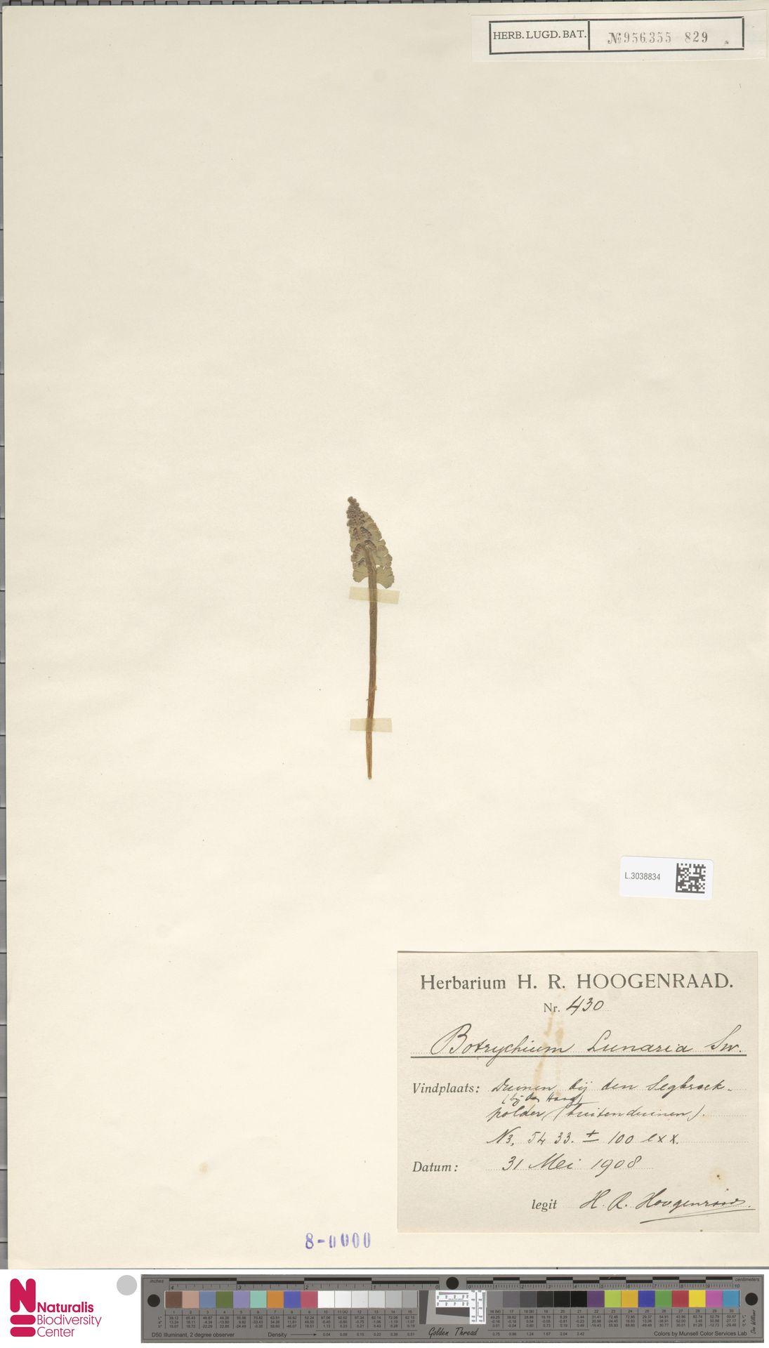 L.3038834 | Botrychium lunaria (L.) Sw.