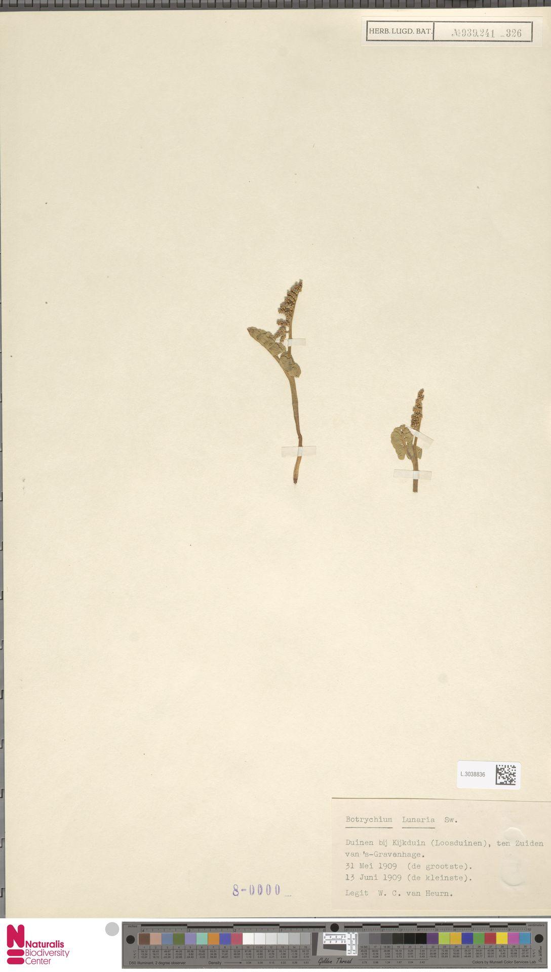 L.3038836 | Botrychium lunaria (L.) Sw.