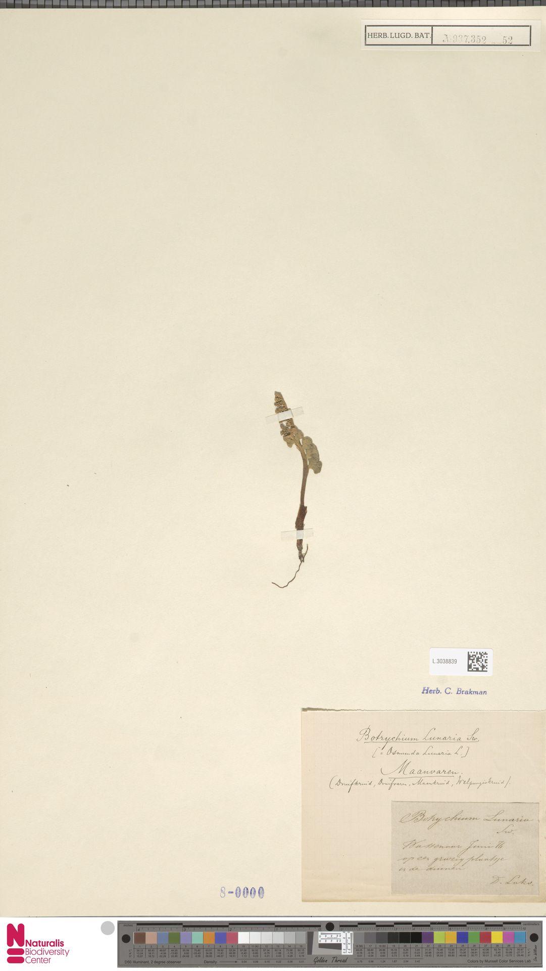 L.3038839 | Botrychium lunaria (L.) Sw.