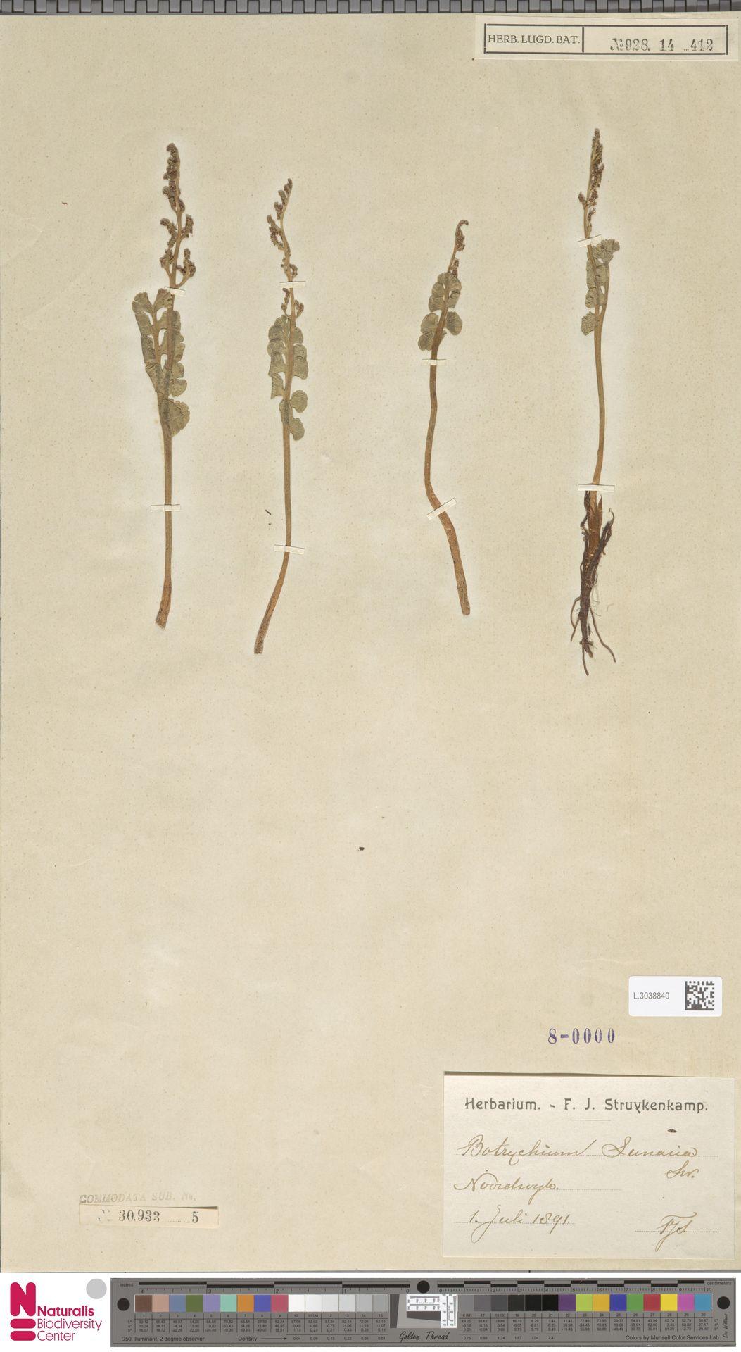 L.3038840   Botrychium lunaria (L.) Sw.