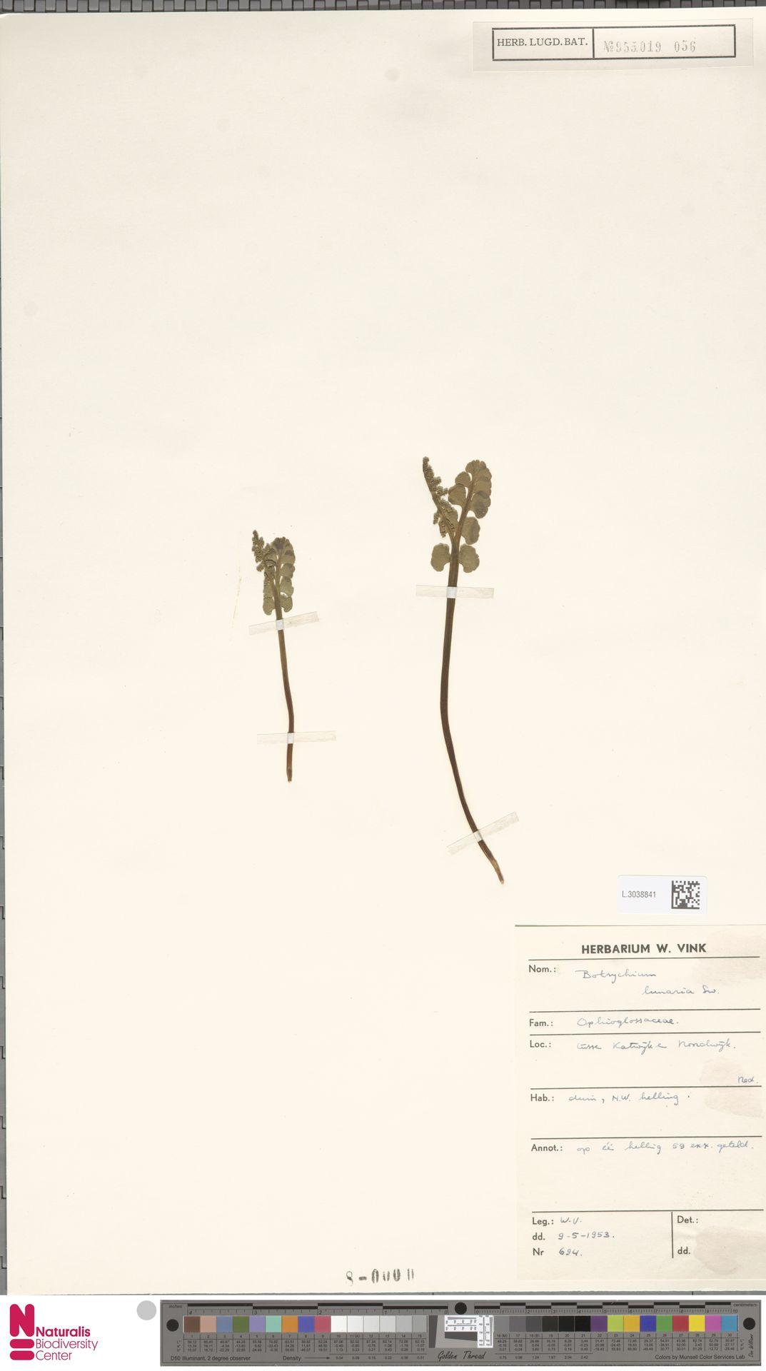 L.3038841 | Botrychium lunaria (L.) Sw.