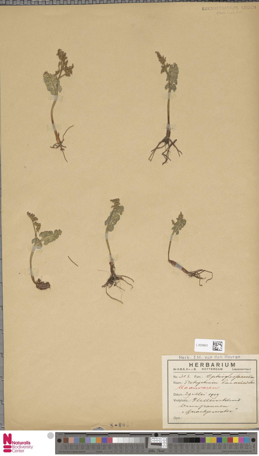 L.3038842 | Botrychium lunaria (L.) Sw.