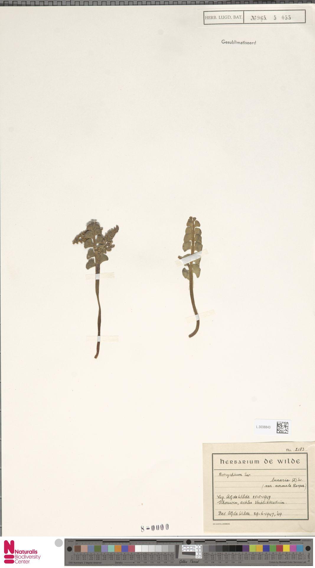 L.3038843 | Botrychium lunaria (L.) Sw.