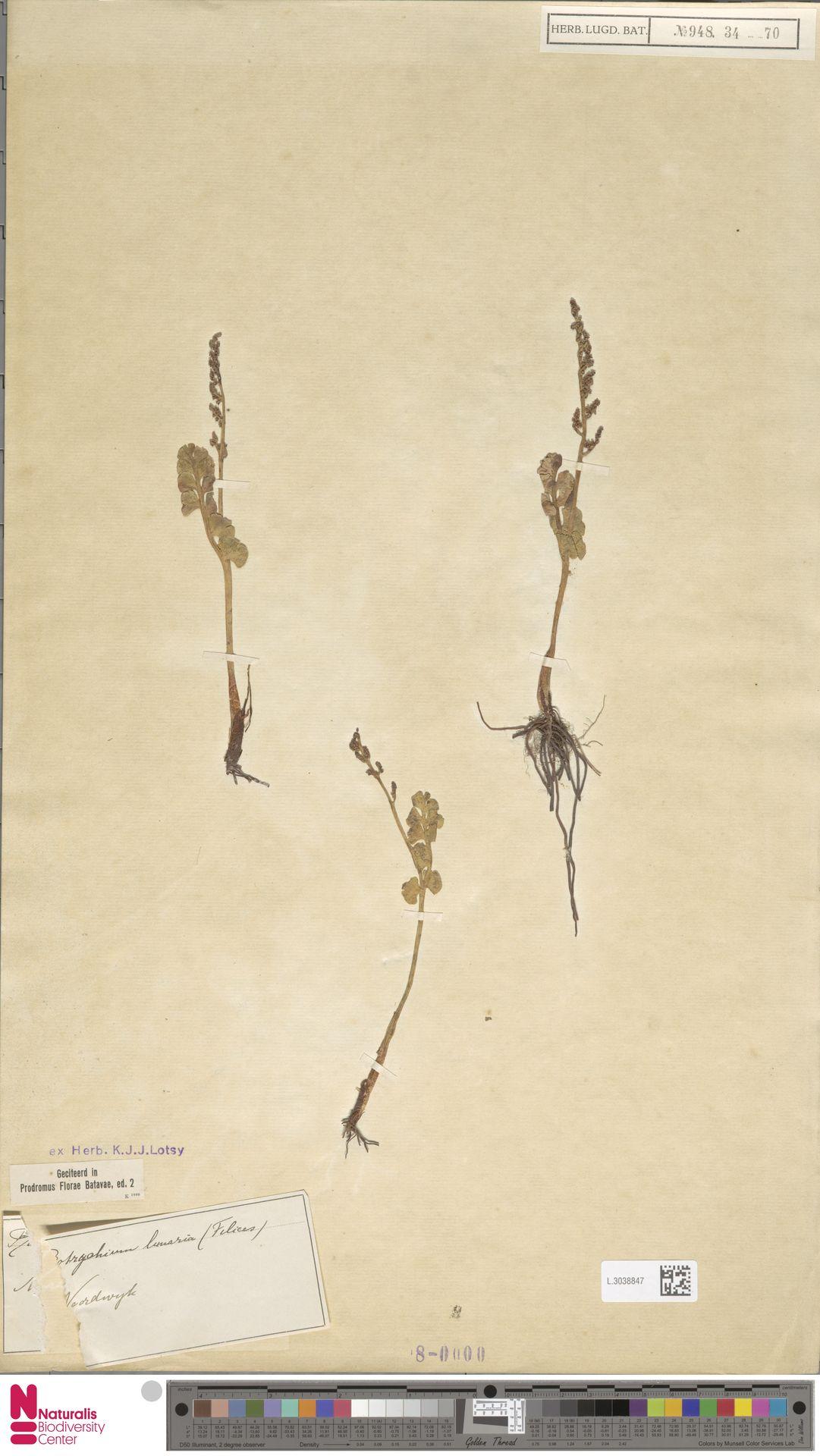 L.3038847 | Botrychium lunaria (L.) Sw.