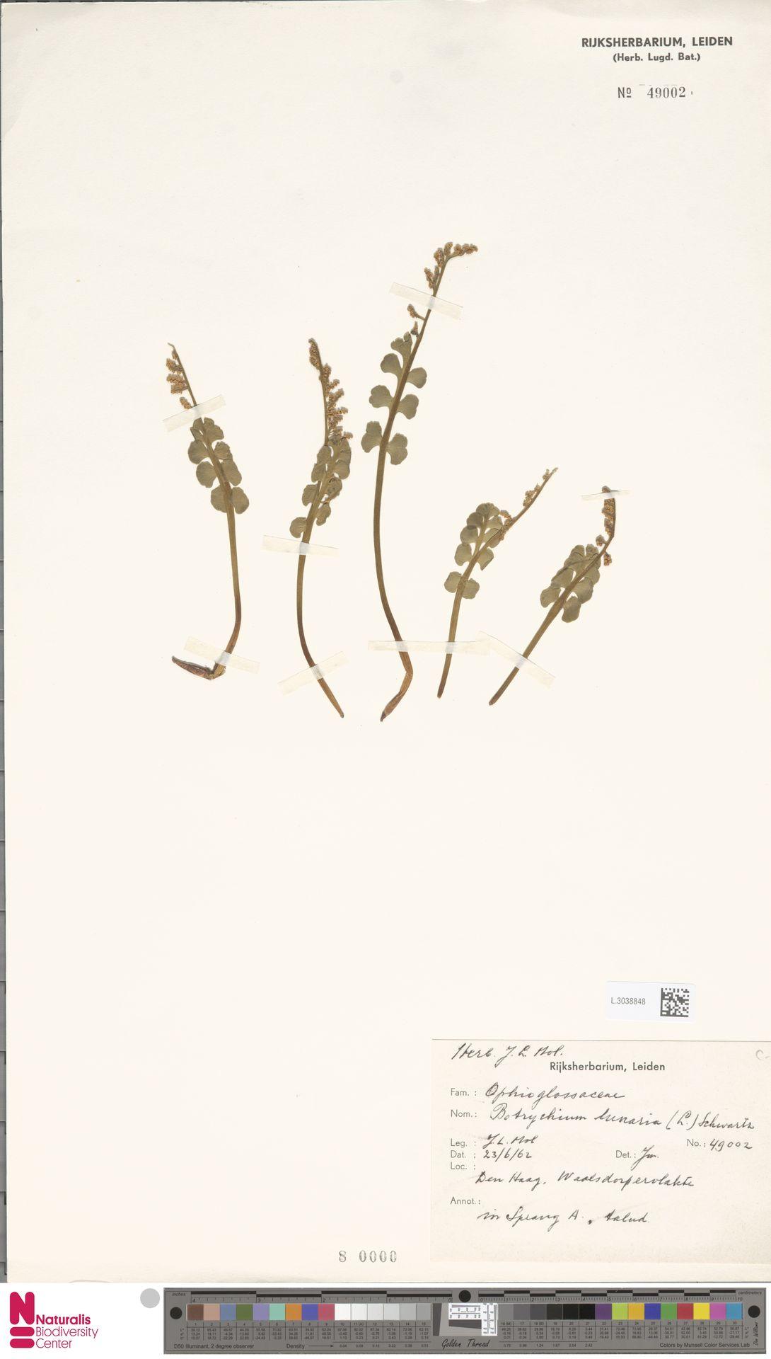 L.3038848 | Botrychium lunaria (L.) Sw.