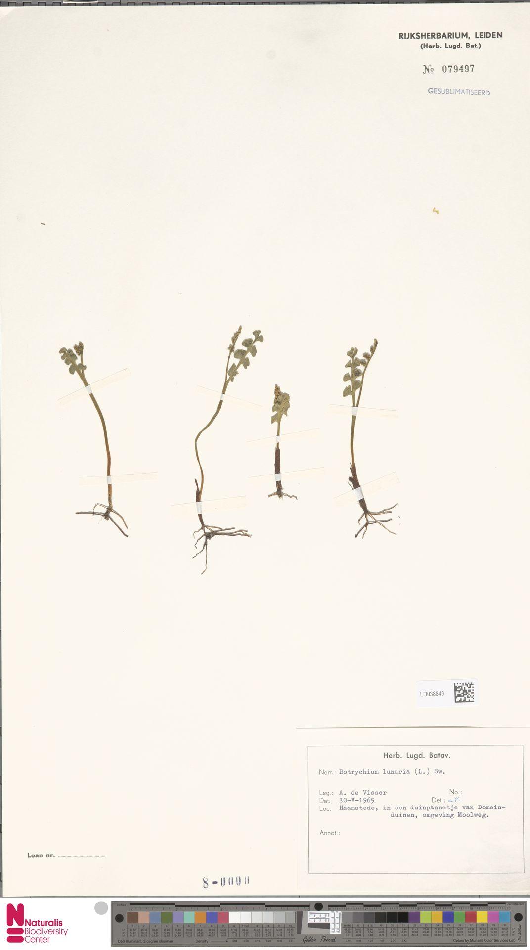 L.3038849 | Botrychium lunaria (L.) Sw.