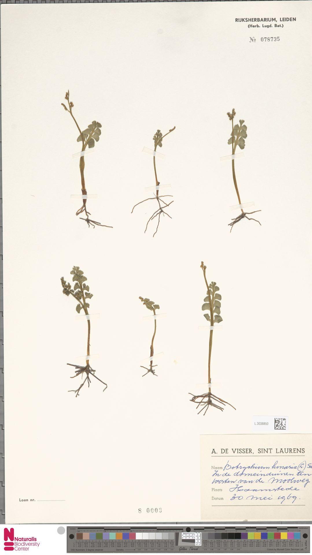 L.3038850 | Botrychium lunaria (L.) Sw.